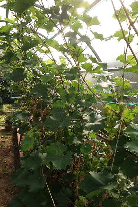 виноград в Подмосковье, выращивание винограда в Подмосковье, плоды винограда в Подмосковье, урожай винограда в Подмосковье, выращивание винограда в теплице, виноград в теплице