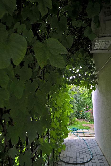 виноград в Подмосковье, выращивание винограда в Подмосковье, плоды винограда в Подмосковье, урожай винограда в Подмосковье, выращивание винограда в теплице, виноград в вертикальном озеленении, арка с виноградом