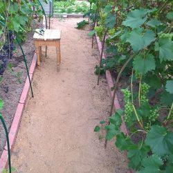Как выращивать виноград в Подмосковье
