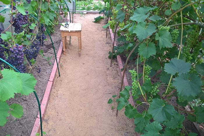 виноград в Подмосковье, выращивание винограда в Подмосковье, плоды винограда в Подмосковье, урожай винограда в Подмосковье, выращивание винограда в теплице, урожай винограда в Подмосковье