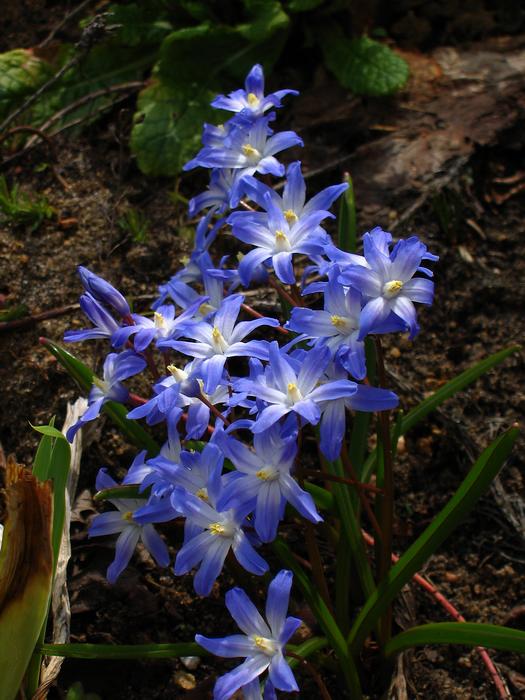 хионодокса Люцилии, хионодокса, первые весенние цветы, цветок хионодоксы
