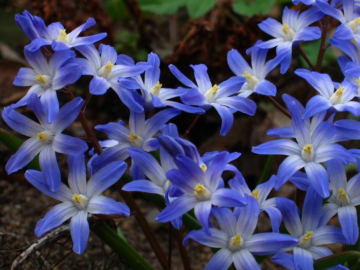хионодокса, хионодокса люцилии, цветок хионодоксы, хионодокса в апреле, весенний цветок хионодокса, луковичное растение хионодокса