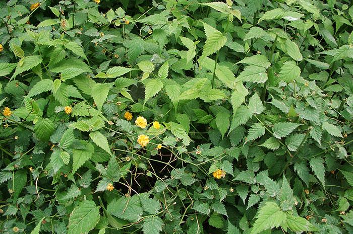 керрия японская, выращивание керрии, уход за керрией, махровые цветки керрии , размножение керрии