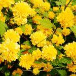 Керрия японская в Подмосковье. Выращивание на участке и дома. Сорта и садовые формы
