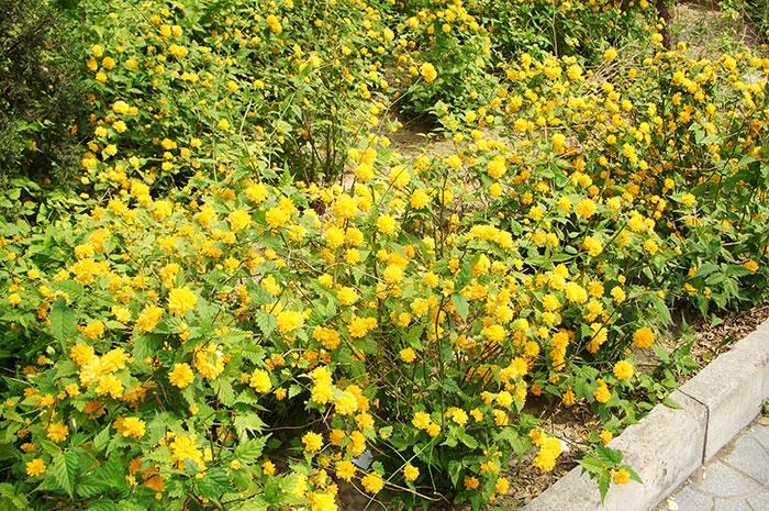 керрия японская, выращивание керрии, уход за керрией, живая изгородь из керрии, махровые цветки керрии , размножение керрии