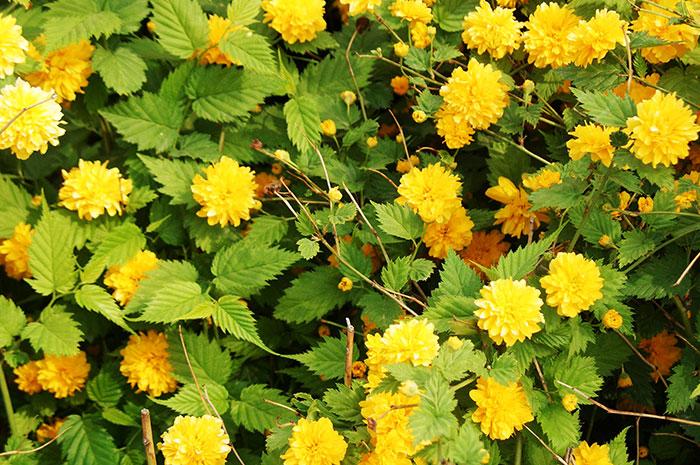 керрия японская Pleniflora (Пленифлора), керрия японская, выращивание керрии, уход за керрией, махровые цветки керрии , размножение керрии
