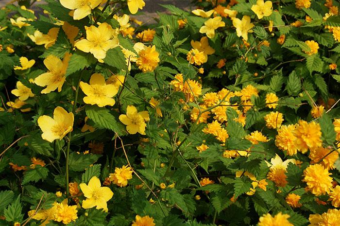 керрия японская, выращивание керрии, уход за керрией, простые цветки керрии, махровые цветки керрии , размножение керрии