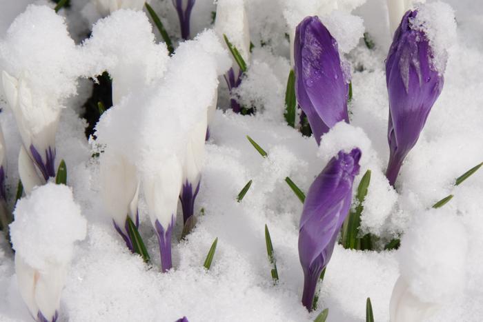 крокус весенний, весенние цветы крокуса, цвет весеннего крокуса, крокусы - первые весенние цветы, крокусы в апреле