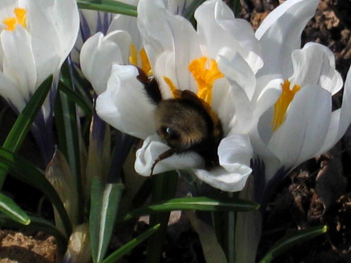 весенние крокусы, шафран, первые весенние цветы, крокус в апреле, цветок крокуса