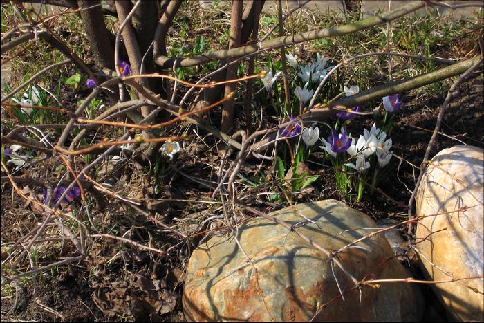 первоцветы, цветение в апреле, крокусы, апрельские первоцветы