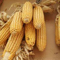 Выращивание кукурузы в Московской области. Какой гибрид или сорт выбрать?