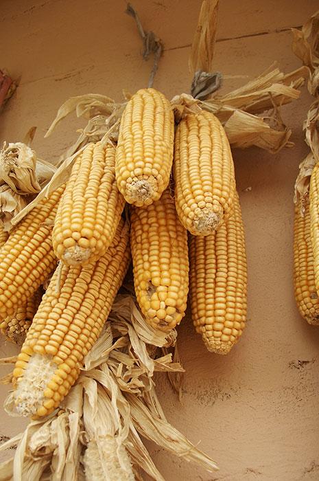 кукуруза, зерновая кукуруза, зёрна кукурузы, початки кукурузы, выращивание кукурузы, сорта кукурузы