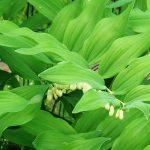 Купена на участке: выращивание и размножение, виды и мистика