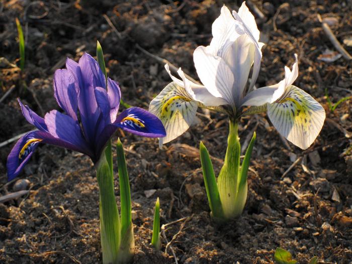 луковичные ирисы, ирисы-подснежники, иридодиктиум, апрельские цветы, ирис-первоцвет