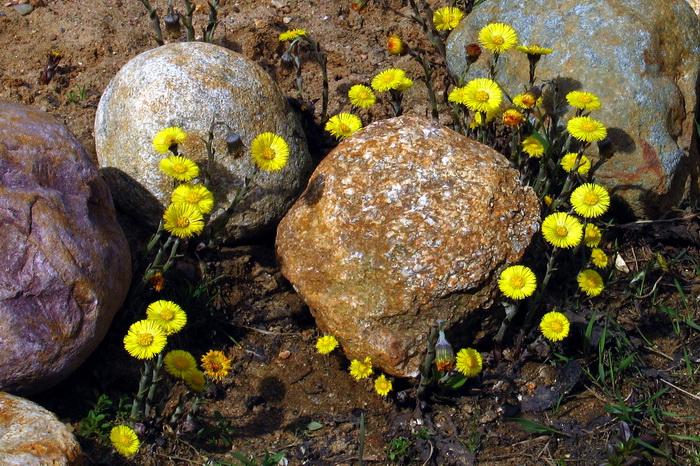 мать-и-мачеха, первый весенний цветок, мать-и-мачеха в апреле, цветы мать-и-мачехи