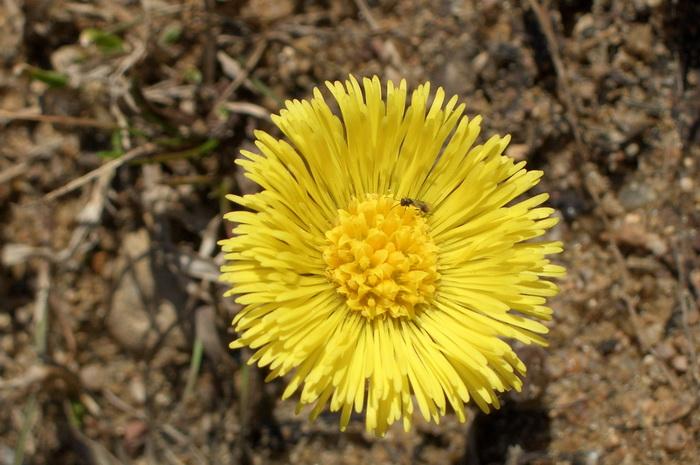 мать-и-мачеха, мать-и-мачеха фото, мать-и-мачеха в апреле, цветок мать-и-мачехи, первые цветы весны