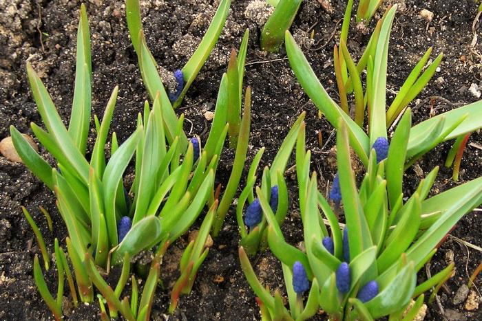 мускари, мускари цветы, цвет мускари, мускари в апреле, мышиный гиацинт, мускари весной