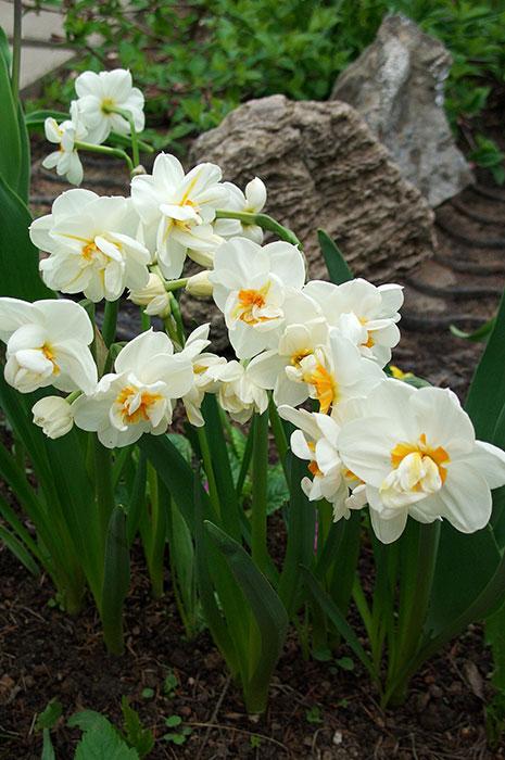 нарциссы в цветочных горшках, нарциссы к 8 марта, выгонка нарциссов, нарциссы после 8 марта, посадка выгонки нарциссов в цветник, сохранение луковиц нарциссов после праздника,