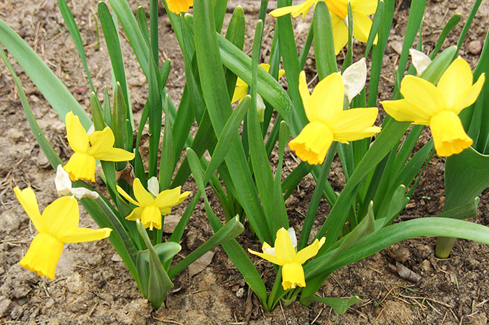 нарциссы в цветочных горшках, нарциссы к 8 марта, выгонка нарциссов, нарциссы после 8 марта, сохранение луковиц нарциссов после праздника,