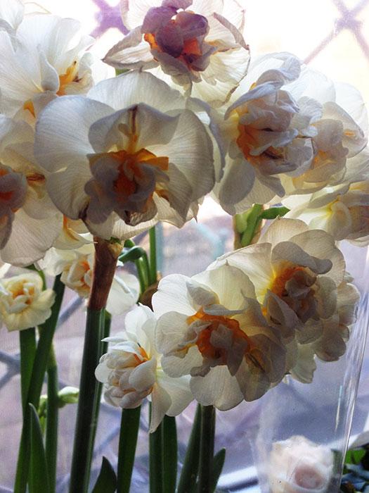 нарциссы в цветочных горшках, нарциссы к 8 марта, выгонка нарциссов, нарциссы после 8 марта, распродажа нарциссов, сохранение луковиц нарциссов после праздника,