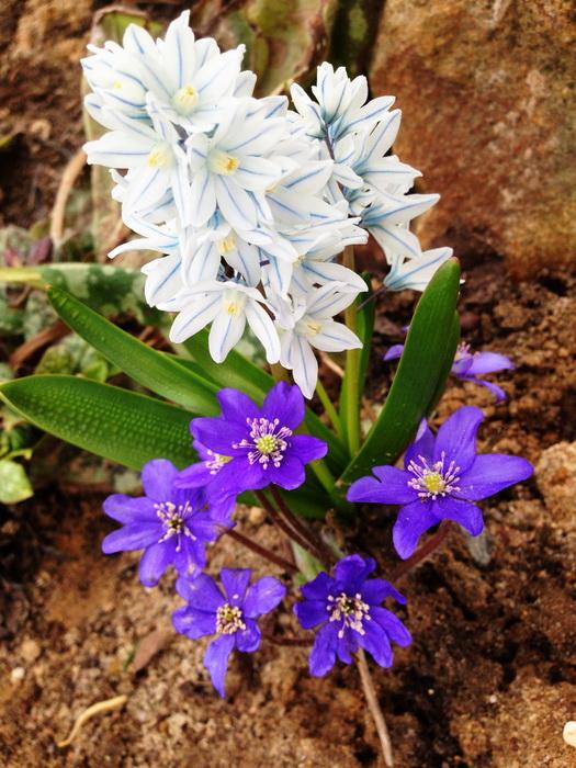 пушкиния, цветение пушкинии, весенний цветок пушкинии, пушкиния цветет в апреле