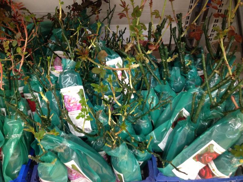саженцы в коробках, покупаем саженцы с февраля по апрель, как сохранить посадочный материал, качество саженцев, какие саженцы можно покупать, саженцы с распустившимися побегами, переросшие саженцы роз, саженцы с открытой и закрытой корневой системой
