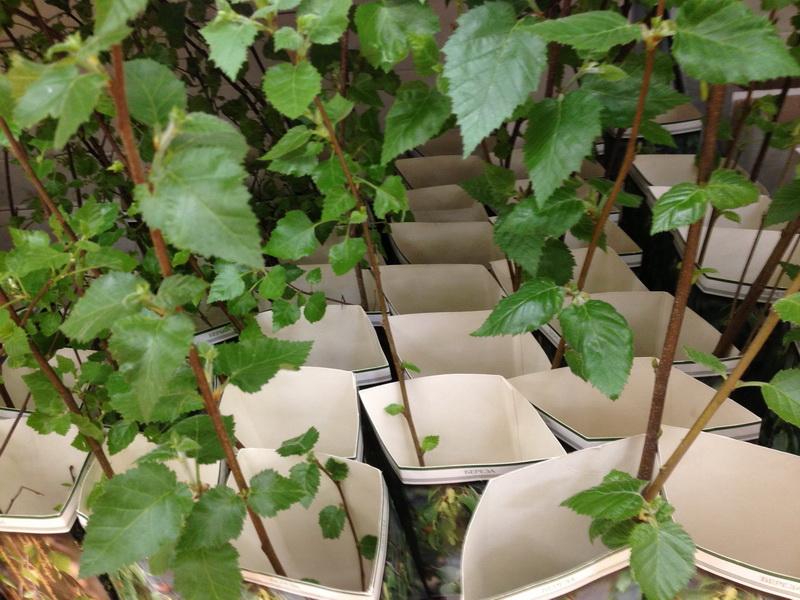 саженцы в коробках, покупаем саженцы с февраля по апрель, как сохранить посадочный материал, качество саженцев, какие саженцы можно покупать, саженцы с распустившимися побегами, саженцы с открытой и закрытой корневой системой