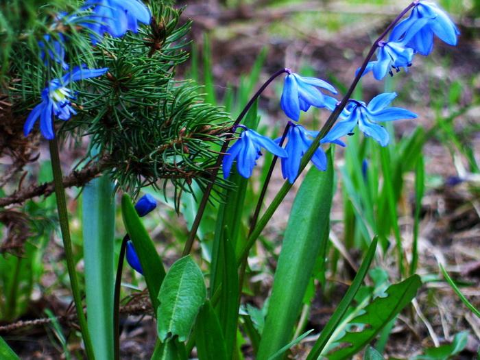 пролеска сцилла, сцилла пролеска сибирская, цветы сциллы, цветение пролески в апреле