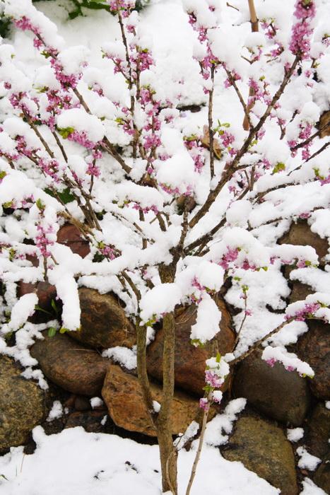 волчеягодник, цветы волчеягодника, дафна, ядовитое растение волчеягодник, вольчье лыко, волчеягодник смертельный, первые весенние цветы, цветение волчеягодника в апреле, ядовитый волчеягодник
