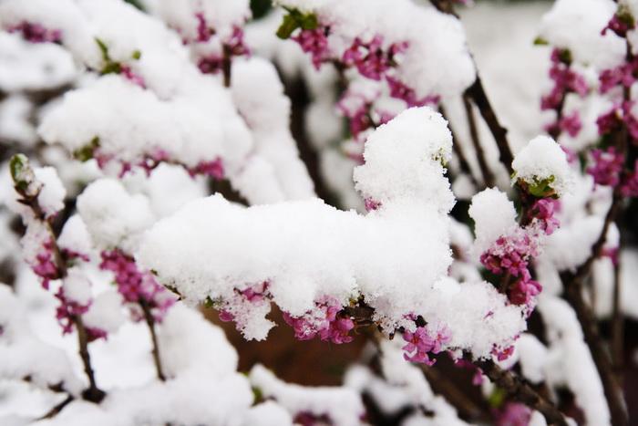 волчеягодник, цветы волчеягодника, ядовитое растение, дафна, волчеягодник смертельный, волчье лыко, первые весенние цветы, цветение волчеягодника в апреле, ядовитый волчеягодник