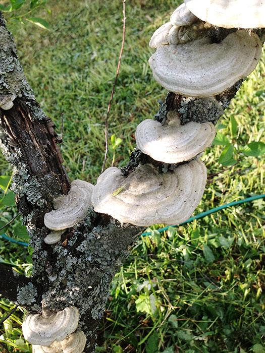 гриб-трутовик на дереве, лишайник, лишайник в саду, лишайник на садовых деревьях и кустарниках, нужно ли удалять лишайник, польза и вред лишайника