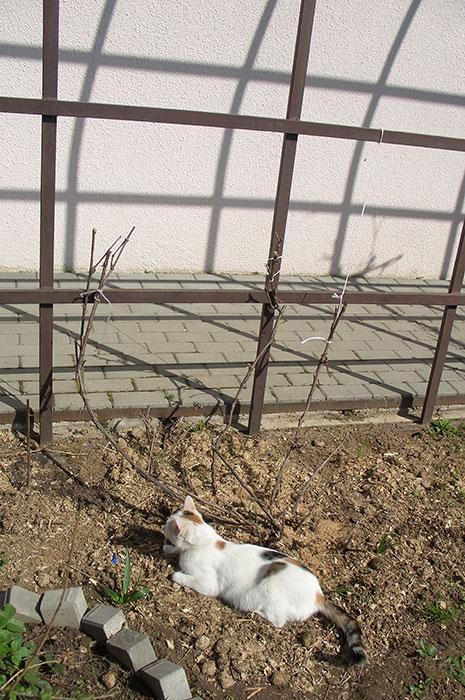 подвязка побегов винограда к опоре весной, как подвязать виноград к опоре, виноград весной в открытом грунте, виноград в Подмосковье