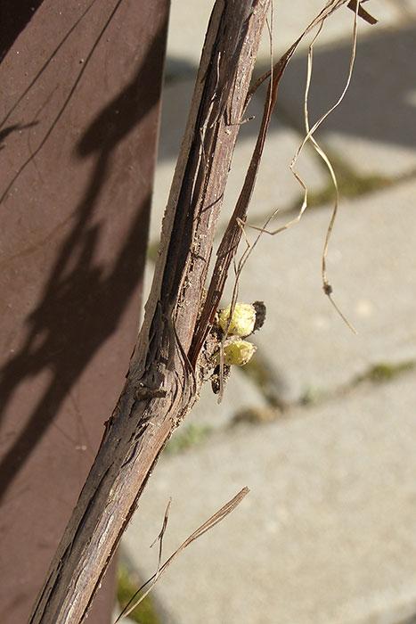 подвязка побегов винограда к опоре весной, виноград в Подмосковье, как подвязать виноград к опоре, набухшие почки винограда, почка винограда, виноград весной в открытом грунте, виноград в Подмосковье