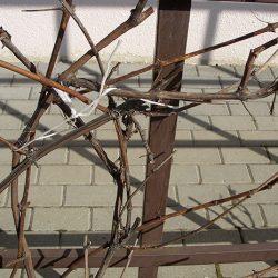 Уход за виноградом в открытом грунте в конце апреля — начале мая