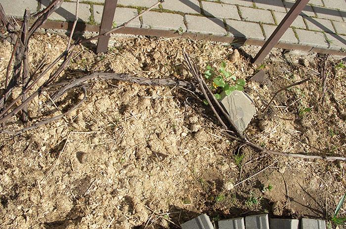 виноград в Подмосковье, подвязка побегов винограда к опоре весной, как подвязать виноград к опоре, размножение винограда отводками, виноград весной в открытом грунте, виноград весной в Подмосковье