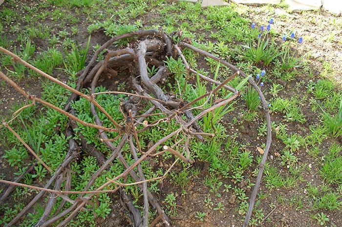 подвязка побегов винограда к опоре весной, как подвязать виноград к опоре, прополка винограда, виноград весной в открытом грунте, виноград в Подмосковье
