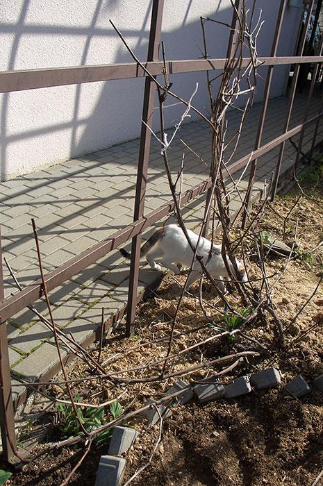 подвязка побегов винограда к опоре весной, виноград в Подмосковье, как подвязать виноград к опоре, виноград весной в открытом грунте, виноград в Подмосковье