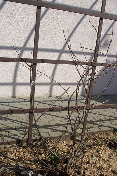 виноград в Подмосковье, подвязка побегов винограда к опоре весной, как подвязать виноград к опоре, виноград весной в открытом грунте, виноград в Подмосковье