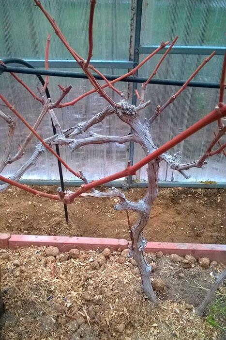 """виноград сорта """"Виктория"""", осеняя обрезка винограда осенью, формирование куста винограда, форма куста винограда, выращивание винограда в теплице, выращивание винограда в Московской области, виноград в Подмосковье"""