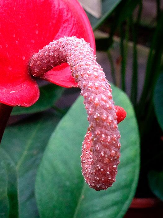 """антуриум Шерцера, початок антуриума, антуриум, початок и покрывало цветка антуриума, антуриум - """"мужское счастье"""", цветок антуриума, цветущий антуриум"""