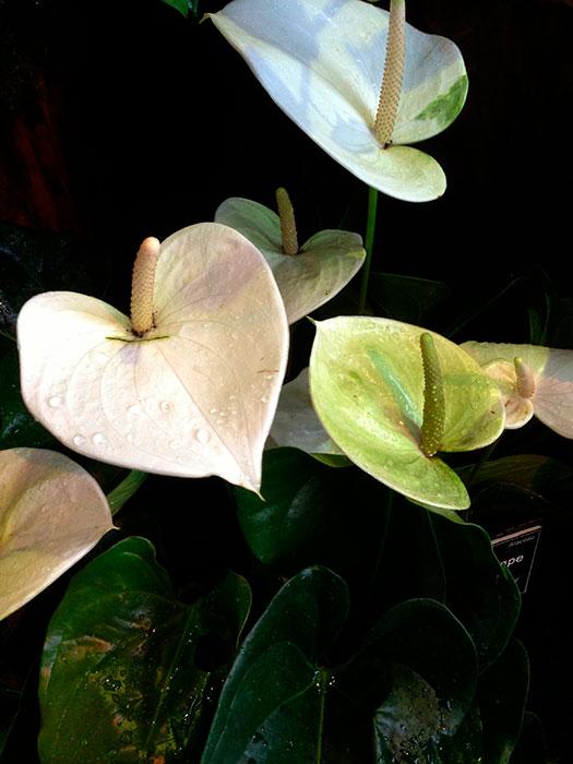 """антуриум, початок и покрывало цветка антуриума, антуриум - """"мужское счастье"""", цветок антуриума, цветущий антуриум, антуриум Андре, виды антуриума"""