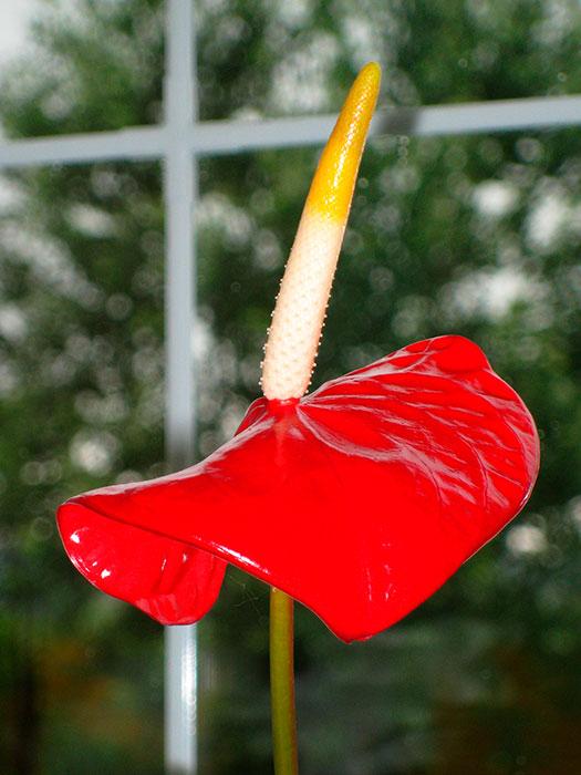 "антуриум, антуриум - цветок фламинго, початок и покрывало цветка антуриума, антуриум - ""мужское счастье"", цветок антуриума, цветущий антуриум"