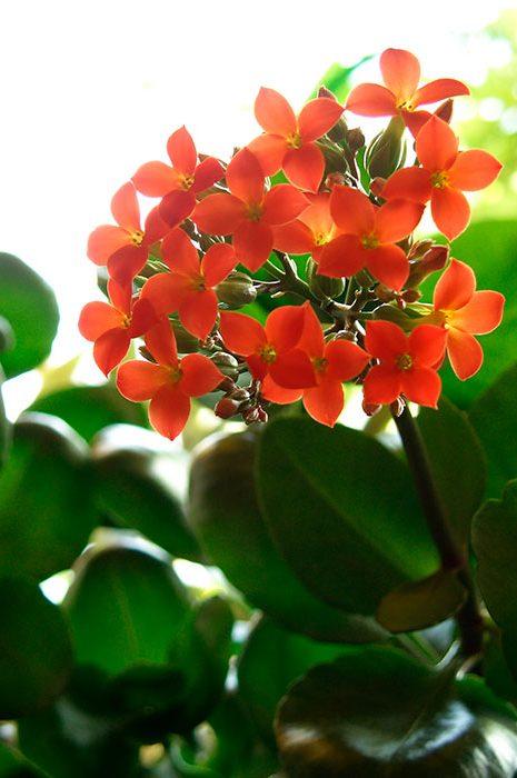 цветы каланхоэ, каланхоэ Блоссфельда (K. blossfeldianna), каланхоэ Блоссфельда, цветущее каланхоэ, лекарственные свойства каланхоэ, уход за каланхоэ, как заставить цвести каланхоэ, размножение каланхоэ, обрезка каланхоэ, омоложение каланхоэ