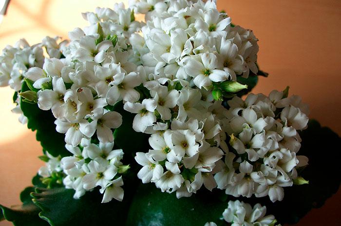цветы каланхоэ, каланхоэ Блоссфельда (K. blossfeldianna), каланхоэ Блоссфельда , цветущее каланхоэ, лекарственные свойства каланхоэ, уход за каланхоэ, как заставить цвести каланхоэ, размножение каланхоэ, обрезка каланхоэ, омоложение каланхоэ
