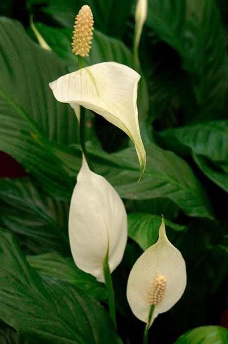 """спатифиллум, растение """"женское счастье"""", выращивание спатифиллума, уход за спатифиллумом, пересадка спатифиллума, растение """"белый парус"""", растения """"мужское и женское счастье"""", цветок спатифиллума, сорта спатифиллума"""