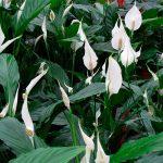 Выращиваем антуриум и спатифиллум — символы мужского и женского счастья