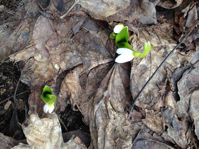 опавшие листья, подснежники, корка из прошлогодних опавших листьев, первоцветы на участке, уборка прошлогодних листьев, стоит ли убирать опавшие листья
