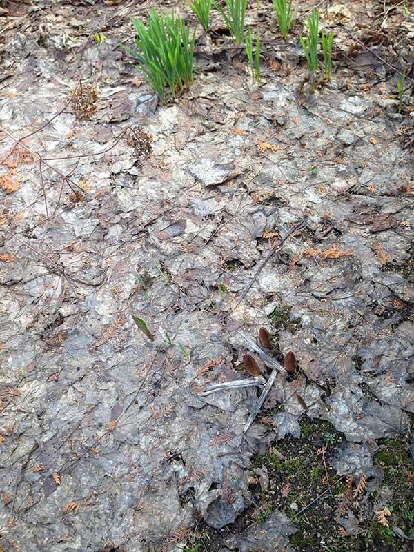 опавшие листья, корка из прошлогодних опавших листьев, первоцветы на участке, уборка прошлогодних листьев, стоит ли убирать опавшие листья