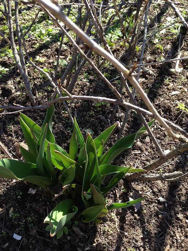 опавшие листья, корка из прошлогодних опавших листьев, первоцветы на участке, уборка прошлогодних листьев, тюльпаны в саду, стоит ли убирать опавшие листья