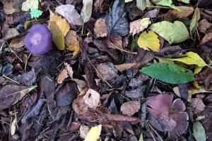 рядовка, рядовка фиолетовая, съедобный гриб, позднеосенний съедобный гриб, грибы, гриб-сапрофит